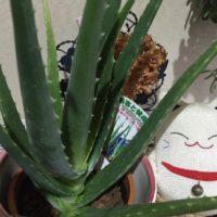 アロエ・ベラの育て方| 屋外や室内での栽培方法、植え替え時期は?の画像