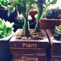 七宝樹の育て方の画像