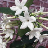 マダガスカルジャスミンの育て方| 植える時期や剪定方法は?の画像