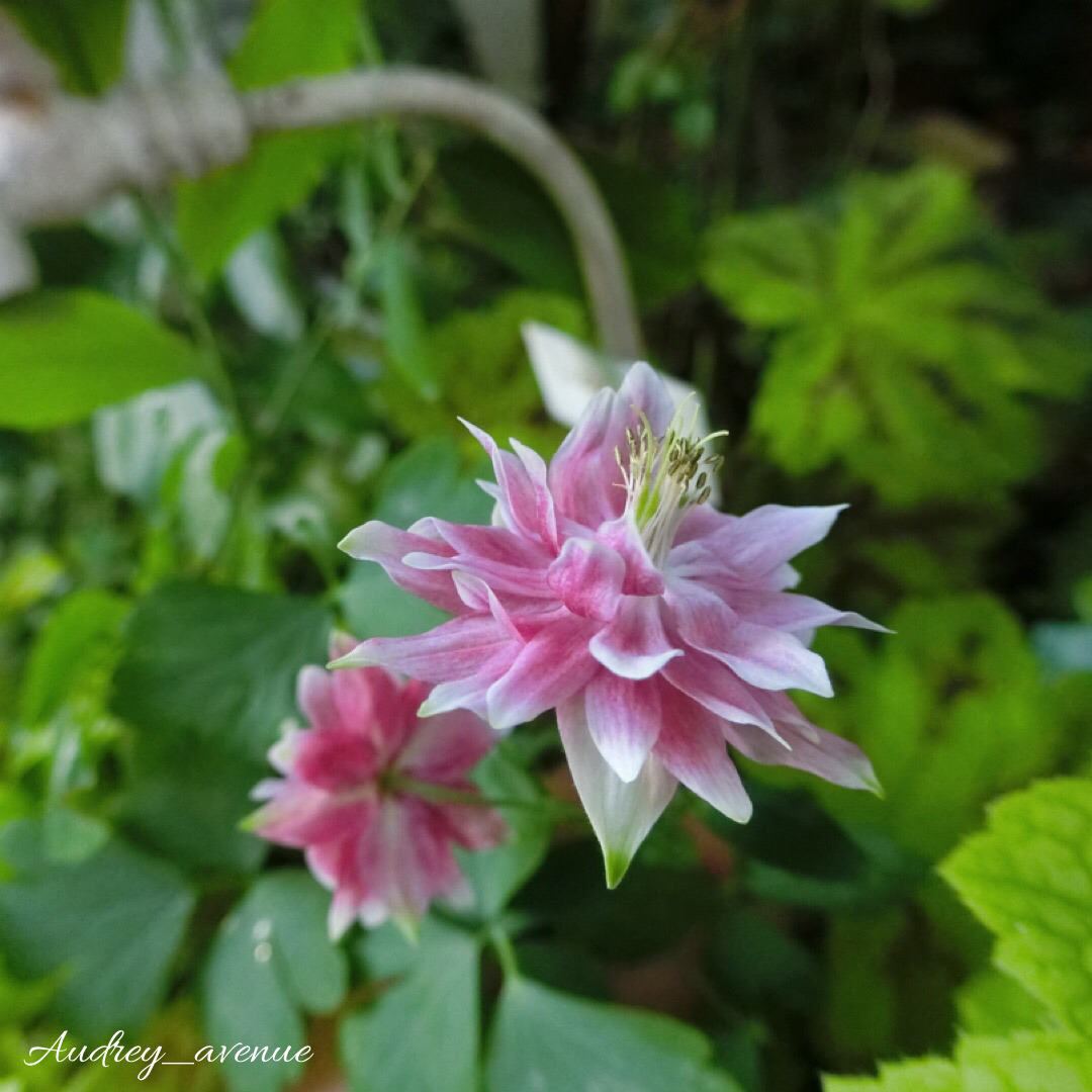 オダマキの育て方| 種まきや植え替えの時期は?の画像