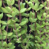 ツルマンネングサ(蔓万年草)の育て方|水やり加減や増やし方は?の画像