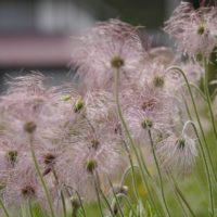 オキナグサの育て方|水やりや植え付け、植え替えの方法は?の画像