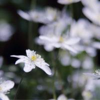 二輪草(ニリンソウ)の育て方|栽培や収穫時の注意点とは?の画像