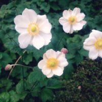 シュウメイギク(秋明菊)の育て方|植え付け時期や栽培適所は?の画像