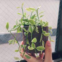 ディスキディア(カンガルーポケット)の育て方|植え付け方法は?土は何を使う?の画像