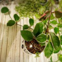 ハートカズラの育て方|植え付けや植え替え時期は?増やし方は?の画像