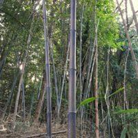 黒竹(クロチク)の育て方|剪定時期や方法は?鉢植えでも育てられる?の画像