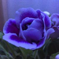 グロキシニアの育て方|植え付け時期や栽培場所とは?の画像
