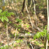 コシアブラの育て方|苗の植え付けや種まきの時期は?栽培はむずかしい?の画像