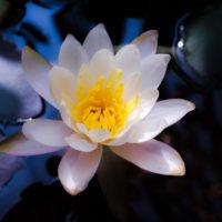 """水面に浮かぶ神秘的な「睡蓮」は、その名の通りに""""眠る""""花!の画像"""