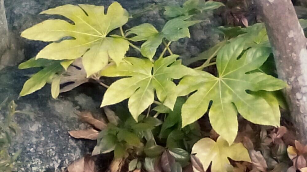 ヤツデの育て方|挿し木や種まきのコツは?虫はつかない?の画像