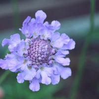 悲しげな花言葉をもつ「スカビオサ」。実は、存在感があって可憐な花!の画像