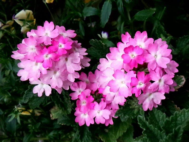 バーベナの育て方|肥料や水やり頻度は?花を長く楽しむコツは?の画像
