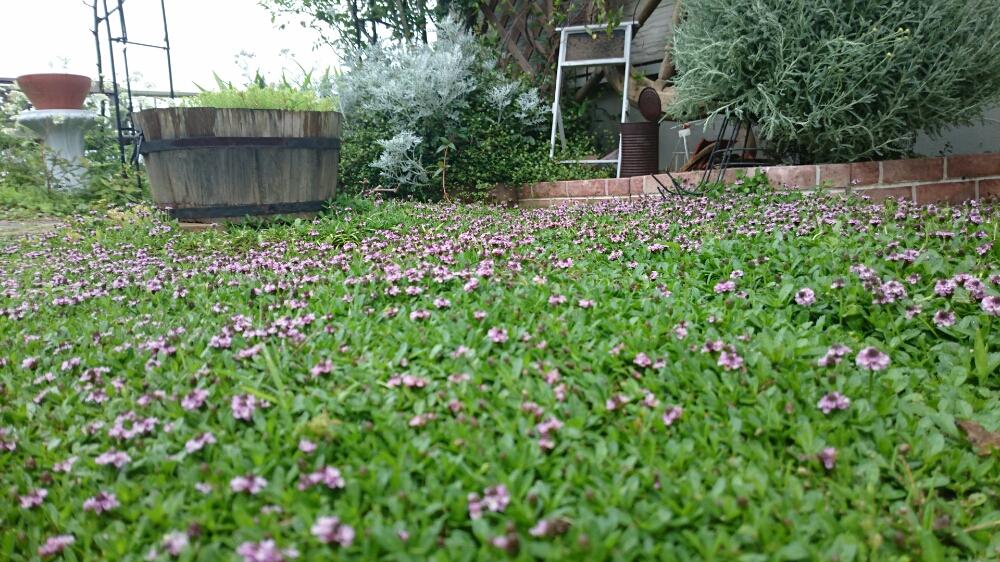 イワダレソウの育て方|庭への植え方と覚えておくべき注意点とは?の画像