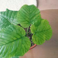 フィカス・ウンベラータの育て方|植え替え時期や水やりの頻度は?肥料は必要?の画像