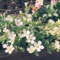 バコパの育て方|種まき時期や増やし方は?の画像