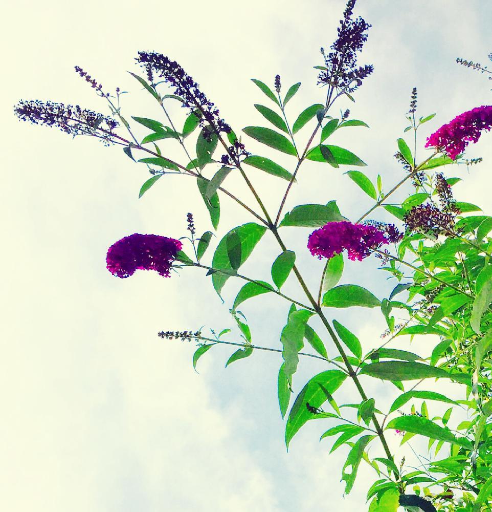 ブッドレアの育て方|苗の植え付け時期は?剪定や挿し木の方法は?の画像
