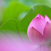 水面を美しく彩る「蓮の花」は、それぞれのパーツをじっくり眺めるのも面白い!の画像