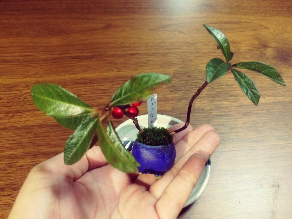 ヤブコウジ(十両)の育て方| 植え替えや剪定時期は?花や実をつける方法は?の画像