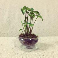 シンゴニウムの育て方|植え替え時期や増やし方は?の画像