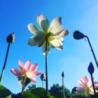 本格的な夏のはじまりを告げる、「ハスの花」を愛でに観蓮会へ出かけてきました!の画像