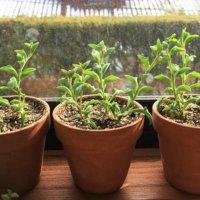 今週の人気『みどりのまとめ』5選!『ゆくはし植物園』さんに行ってきたよ!/ ドルフィンネックレスを茎挿しで増やす などの画像