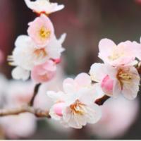 待ち遠しい春はもうすぐそこ。お天気のよい週末には梅を愛でに出かけよう!の画像