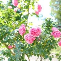 🌹美しいバラ、集めてみました🌹\☆抽選プレゼントあり☆/の画像