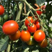 人気の野菜を育てたい!トマトをおいしく栽培する3つのアイテムが新登場!の画像