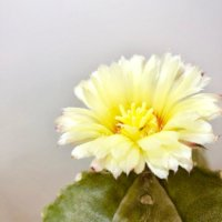 今週の人気『みどりのまとめ』5選!お花、咲いたよ😍❤️ / 編み込みパキラが枯れてきた😱ほどいて植え替えます🌴などの画像