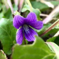 スミレの育て方| 種まきや植え替えの時期、増やし方は?の画像