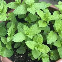 スペアミントの育て方|苗の植え付けや種まき、収穫の時期は?の画像