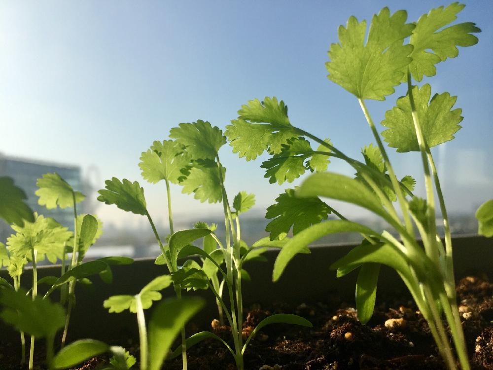 パセリの育て方|地植えやプランターでの栽培方法は?の画像