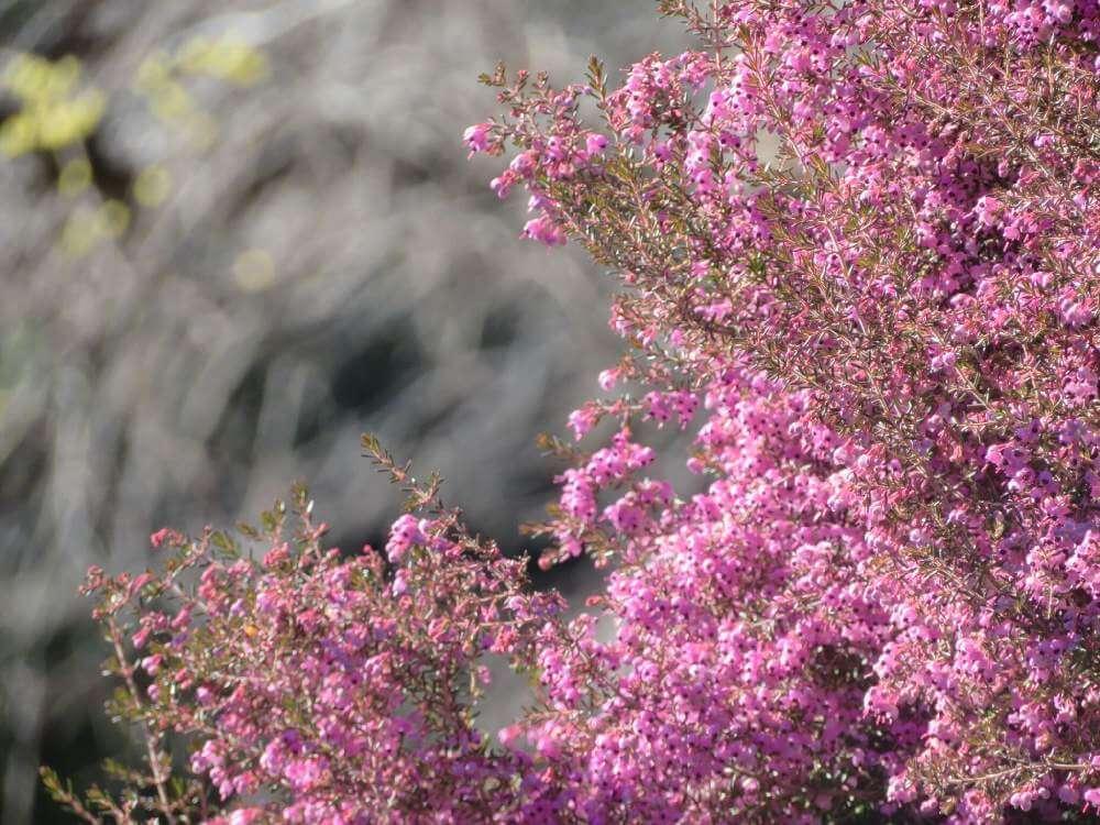 エリカ、photo by 花と虫と風と空と