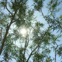 ティーツリーの育て方|苗の植え方や種まきの方法は?の画像