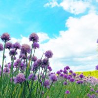 チャイブの育て方|種まき時期や、花や葉の収穫方法は?の画像