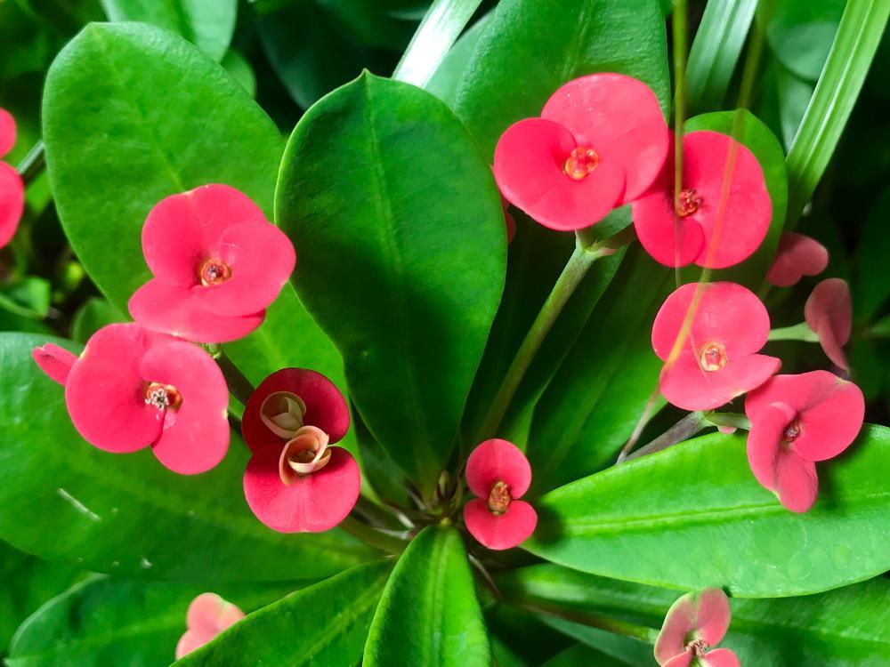 ハナキリン(花麒麟)の育て方|植え付け時期や剪定方法は?の画像