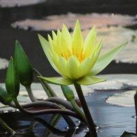 熱帯スイレン(熱帯睡蓮)の育て方|植え付け時期は?水槽でも育つ?の画像