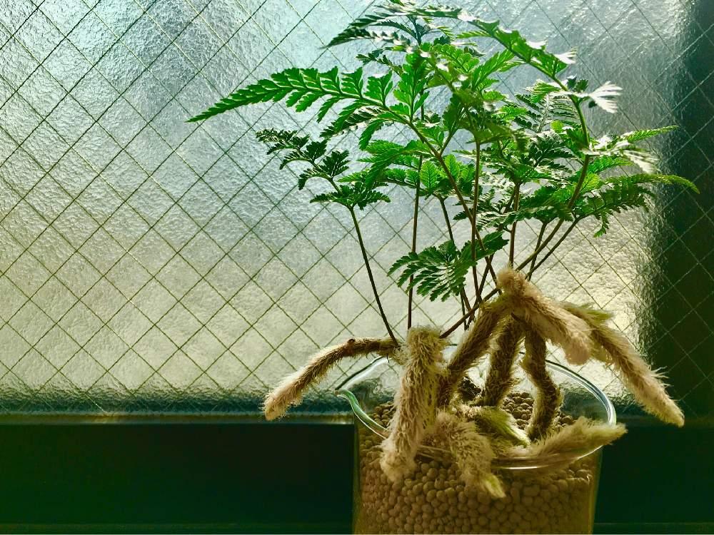 トキワシノブの育て方の画像