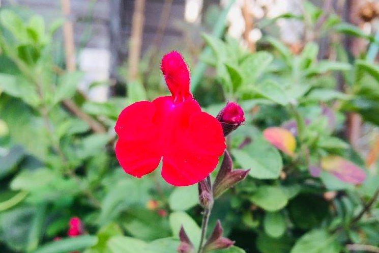 チェリーセージの画像 Photo by 花ちゃんさん