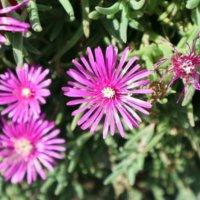 マツバギク(松葉菊)の育て方|増やし方や冬の管理方法は?の画像