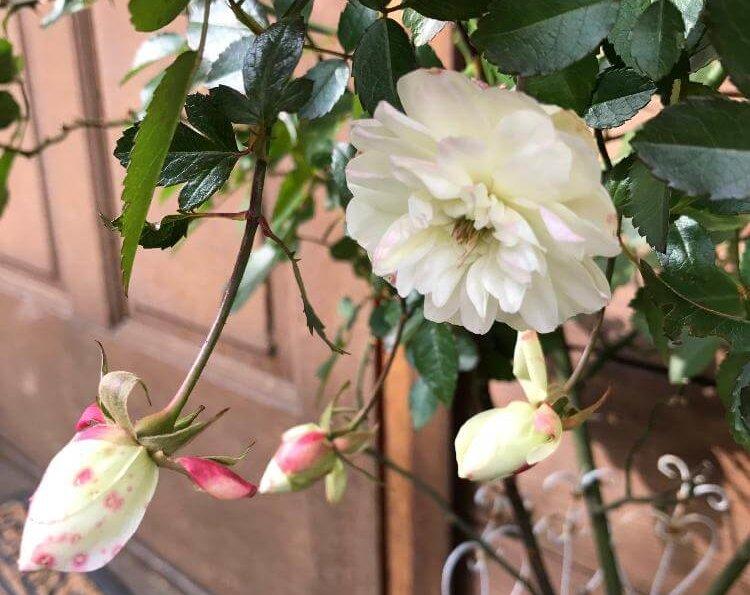 バラ、Photo by tanasaさん