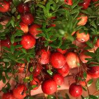クランベリーの育て方|鉢植えや地植えの方法は?の画像