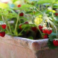 ワイルドストロベリーの育て方|苗植えや種まき、収穫の時期は?地植え栽培に向いてる?の画像