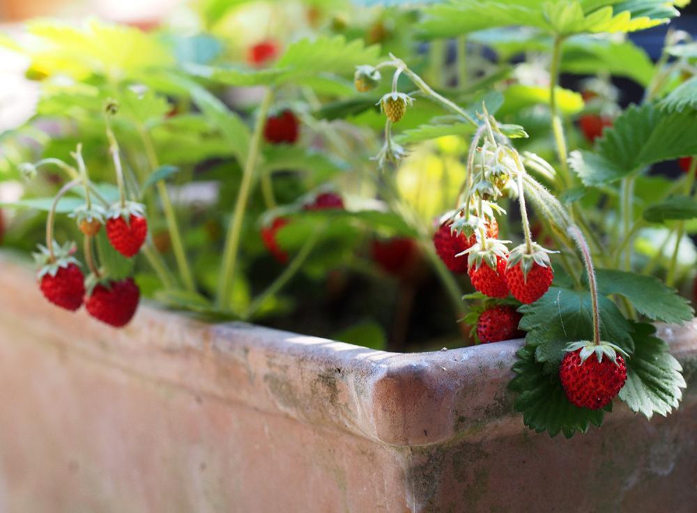 ワイルドストロベリーの育て方|苗植えや種まき、収穫の時期は?の画像