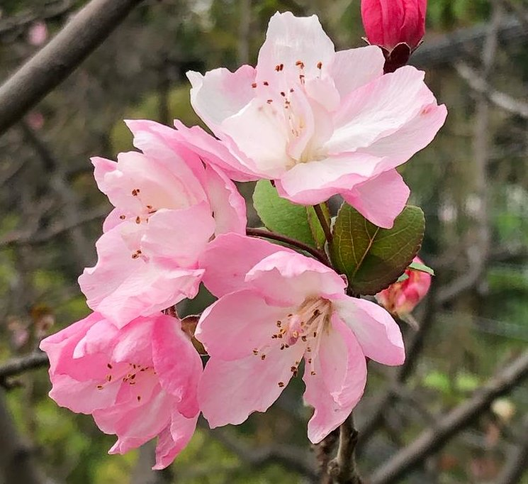 ハナカイドウ(花海堂)の育て方|植え付けや植え替え時期、剪定方法は?の画像