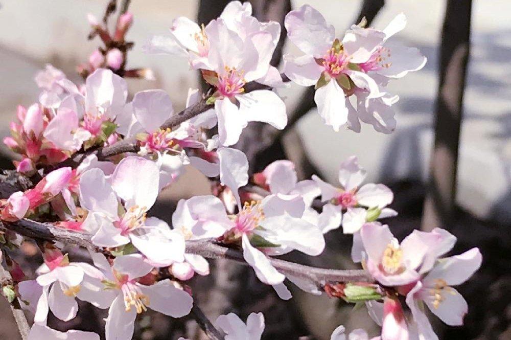 ユスラウメ(梅桃)の育て方|鉢植えや地植えの植え方、剪定方法は?の画像