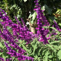 アメジストセージの花言葉|花の香りや特徴、効能はあるの?の画像