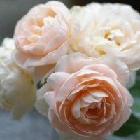 バラの育て方の画像