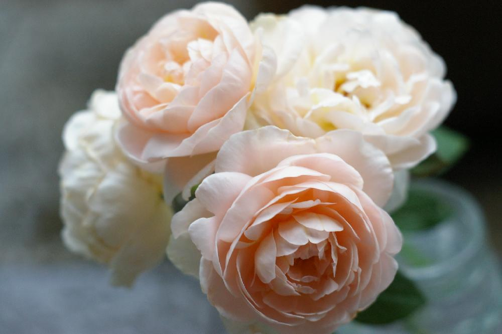 バラ(薔薇)の育て方|地植えと鉢植え栽培のコツは?の画像